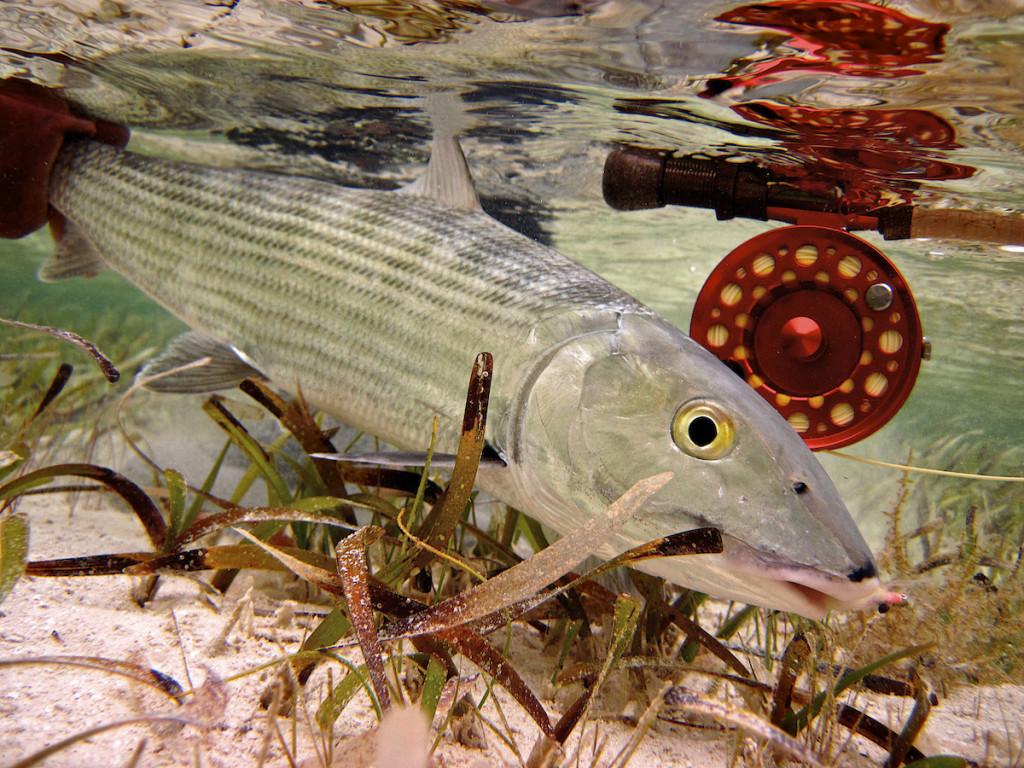 Bonefish-on-fly-Nov-20